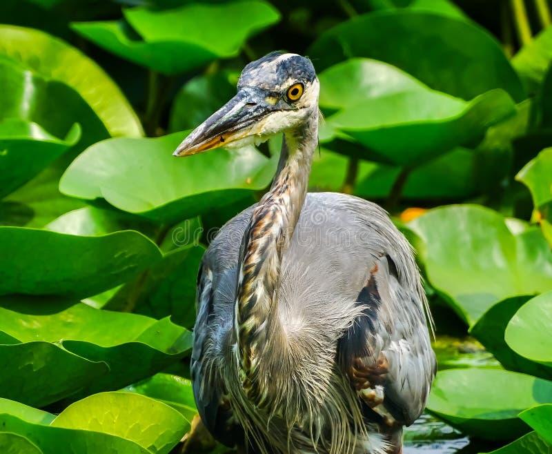 伟大蓝色的苍鹭的巢Juanita海湾公园华盛顿湖柯克兰华盛顿 免版税库存图片