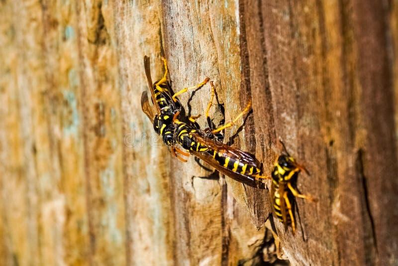 会集在一个木岗位的黄蜂 库存图片