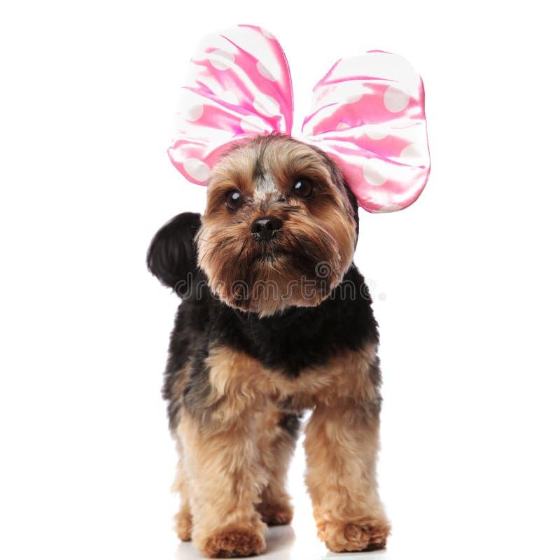 佩带桃红色丝带的好奇约克夏狗查寻支持 库存图片