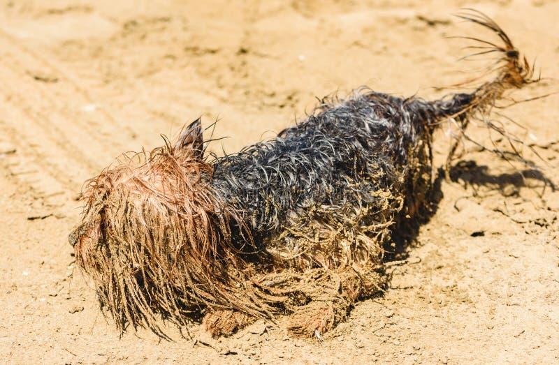 使用在海滩的可笑的约克夏狗狗弄脏在沙子 库存图片