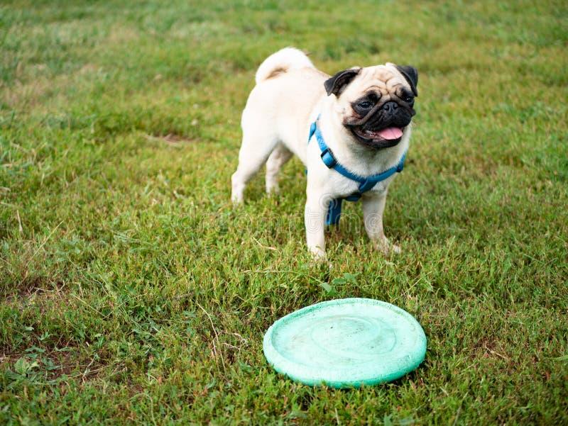 使用在草的一点逗人喜爱的哈巴狗狗 免版税库存照片