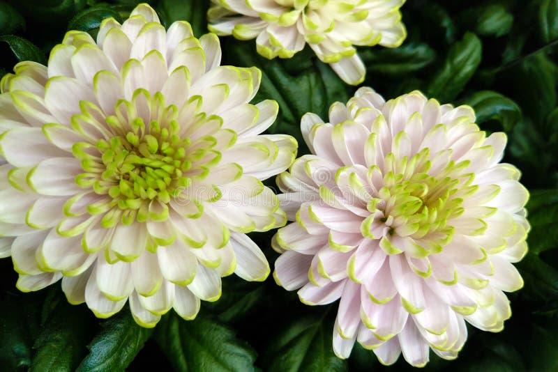 作为背景影像的美丽的绿色白色菊花 菊花墙纸 库存照片