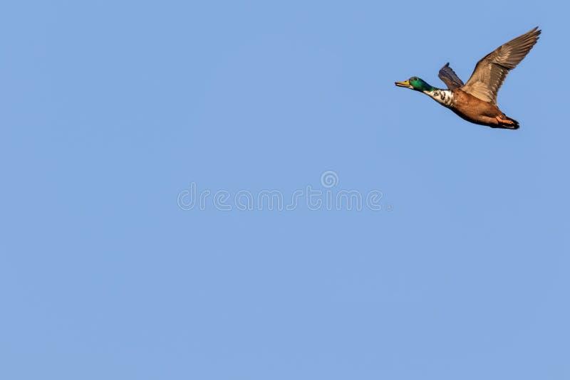 低头飞行野鸭 库存照片