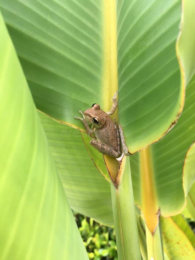 佛罗里达坐在棕榈叶状体的雨蛙 免版税库存照片