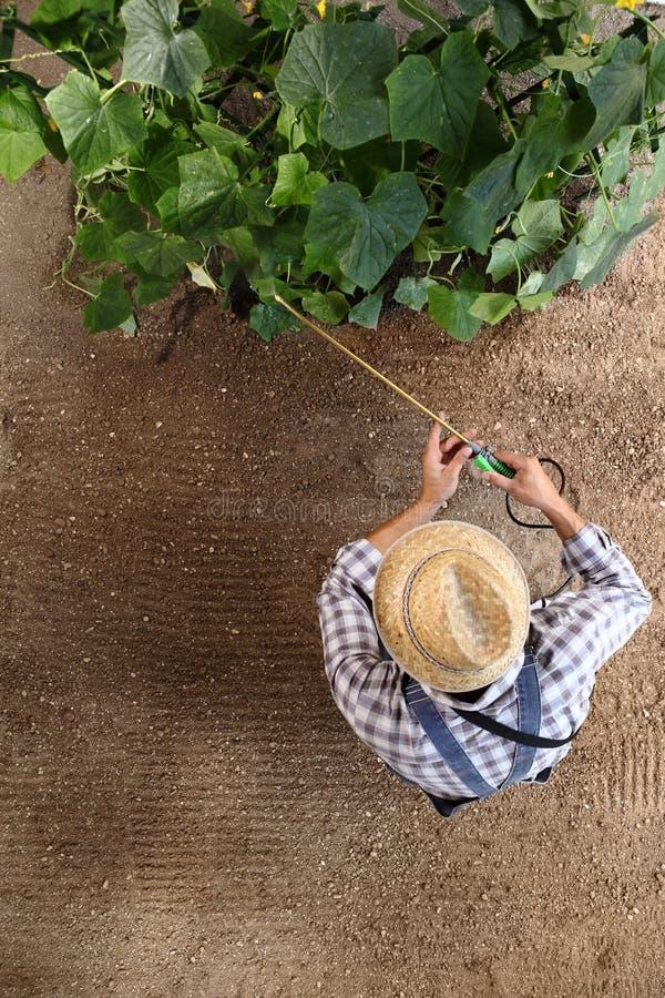 供以人员工作在菜园、杀虫剂浪花在植物,顶视图和拷贝空间里的农夫 库存图片