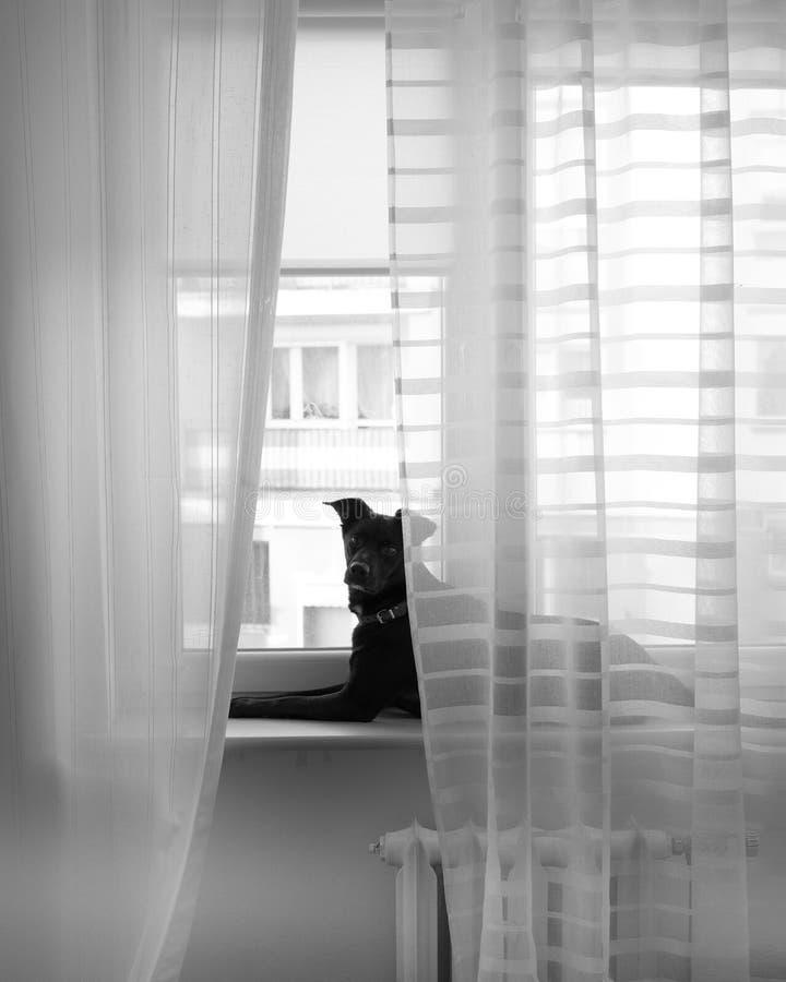 俏丽和可爱的被采取的狗作为在窗台的一个模型 免版税库存图片