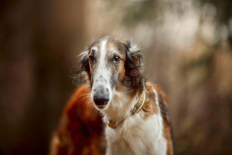 俄国俄国猎狼犬狗画象在秋天公园 图库摄影
