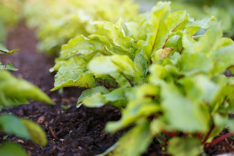 Ćwikłowe zielenie r na jarzynowym łóżku w jarzynowym ogródzie obrazy royalty free