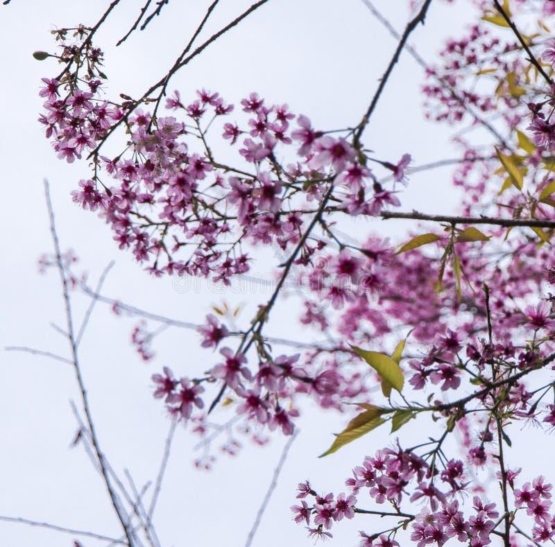 Ä- à Láº-¡ t, vietnamesische Kirschblüte lizenzfreies stockbild