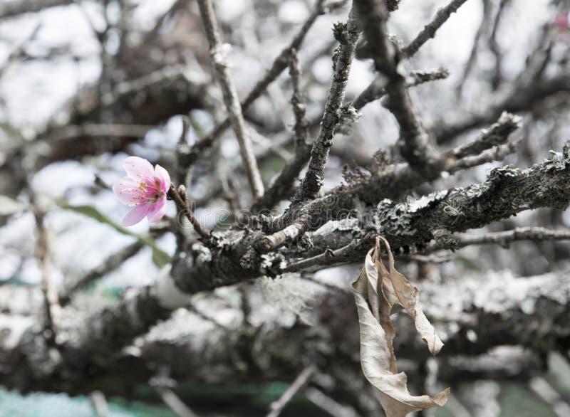 Ä- à Láº-¡ t, vietnamesische Kirschblüte lizenzfreie stockbilder