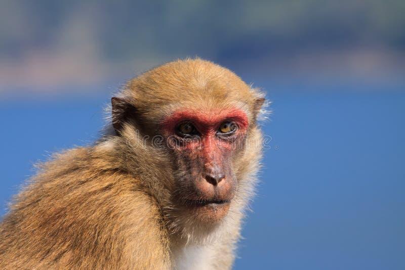Äffen Sie Affen in der Wildnis nach, die mit Blickkontakt zur Kamera schaut lizenzfreies stockfoto