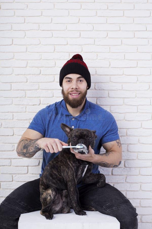 Ägaren borstar hans husdjurs tänder Fransk bulldogg för hund Tandborste och toothpaste arkivbild