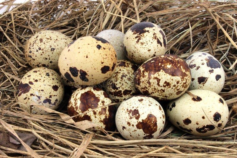 Ägg för en raddaquail royaltyfri foto