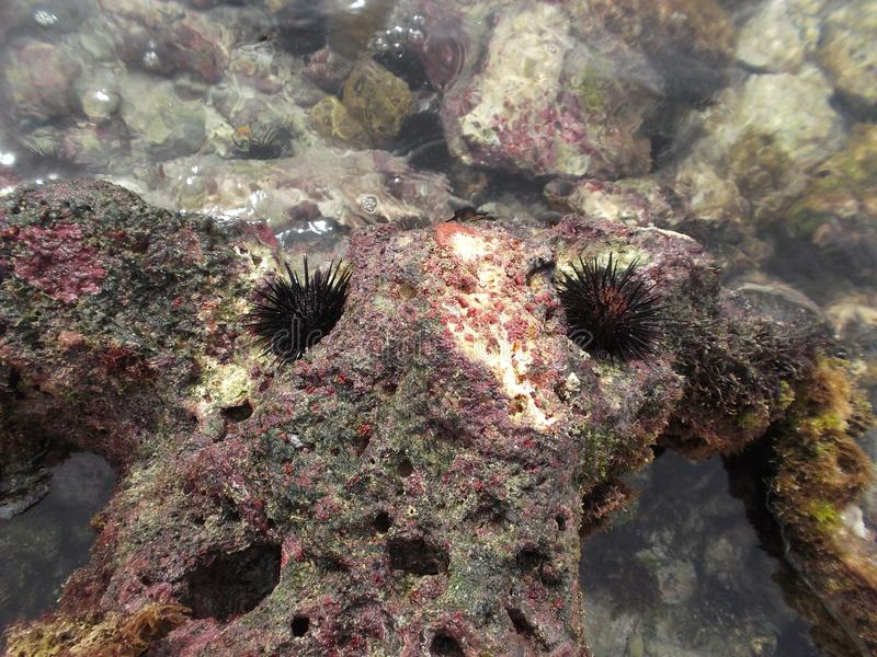 Ägg för häger för gatubarn för ‹för †för havsav ventricosusen för ösköldpaddatripneustes i strandcalderaen för kust- zon, st arkivfoton