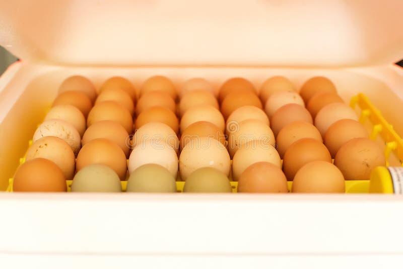 Ägg i en kuvös arkivfoton