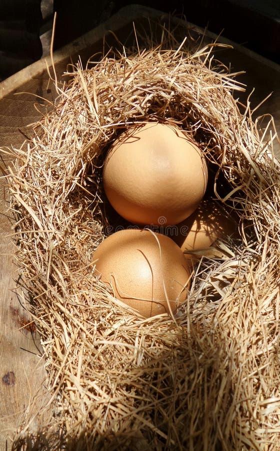 Ägg i hörede under solljus royaltyfri bild