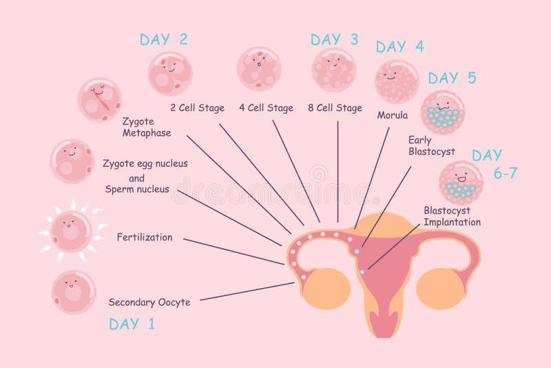 Ägg- och spermahavandeskapprocess stock illustrationer