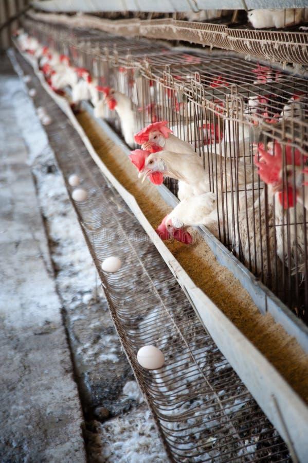 ägghönshus fotografering för bildbyråer