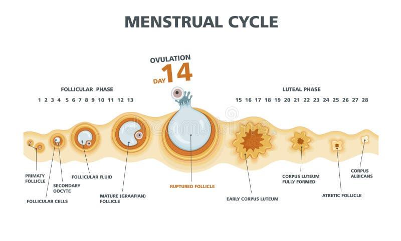 Ägglossningdiagram Kvinnliga Menstrual cyklar vektor illustrationer