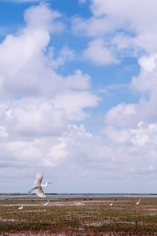 Ägretthäger - hägerfågeln flög över landskap av Talay Noi, Ramsar våtmarkresevoir av Songkhla sjön i Phatthalung, Thailand royaltyfri bild