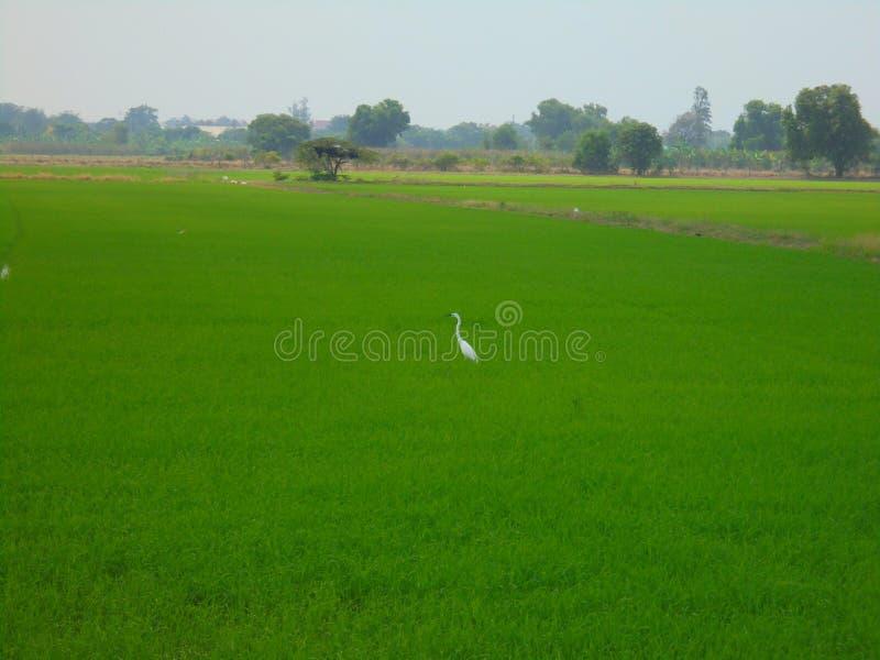 Ägretthäger i risfält royaltyfri bild