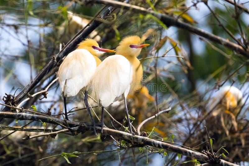 Ägretthägerfågelpar som sitter på bambuträdbuskar arkivbild