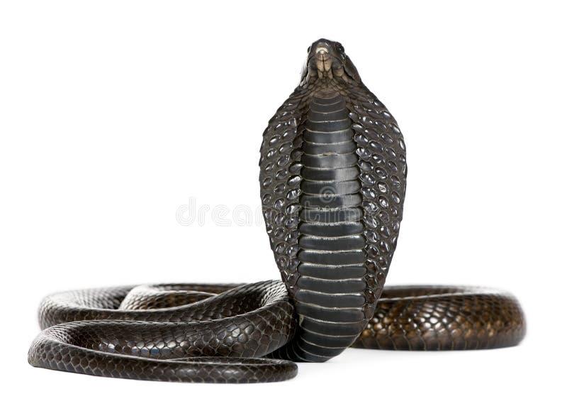 Ägyptische Kobra - Naja haje lizenzfreie stockfotografie