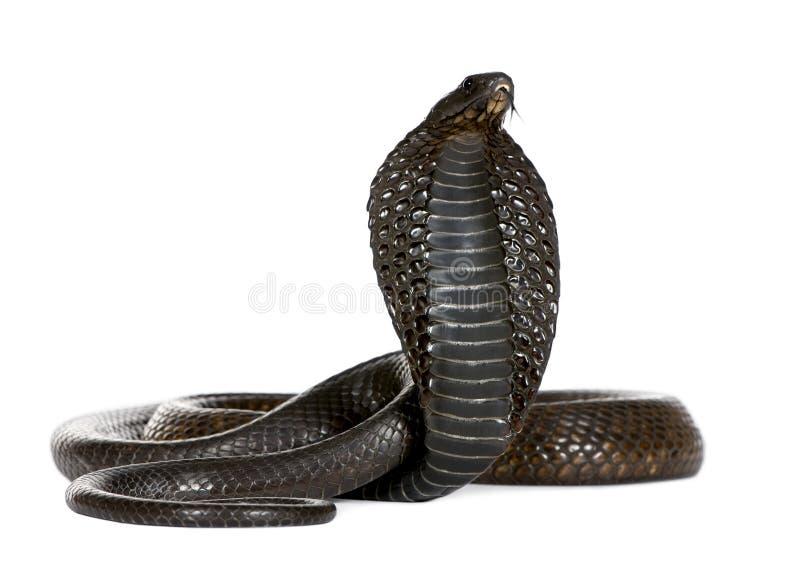 Ägyptische Kobra, Naja Haje, Studioschuß stockfotografie