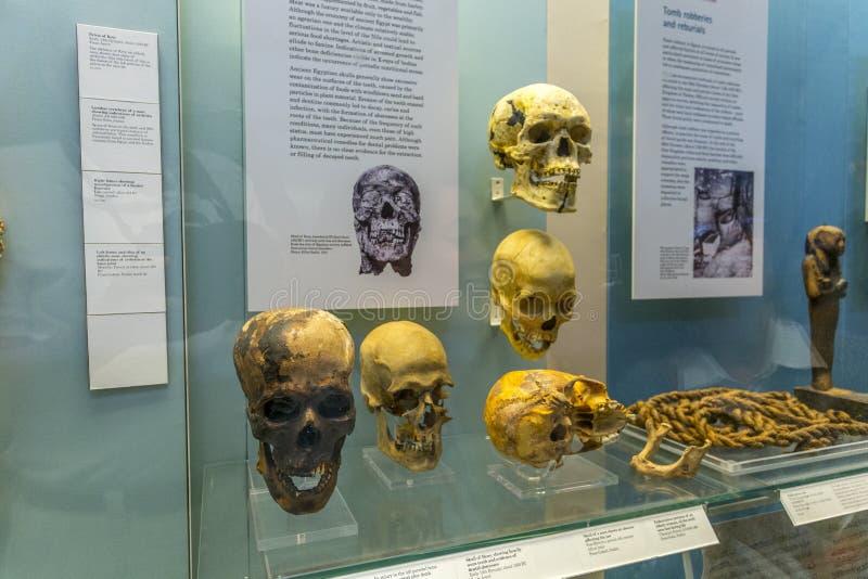 Ägyptische Mamaschädel innerhalb British Museums stockfotografie