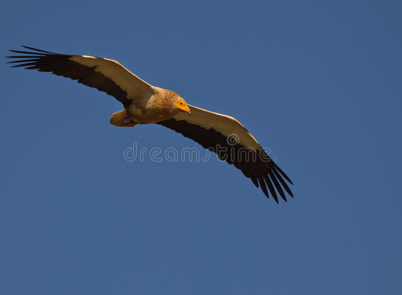 Ägyptischer Geier im Flug lizenzfreies stockfoto