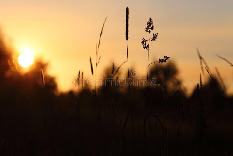 Ährchen bei Sonnenuntergang lizenzfreie stockbilder