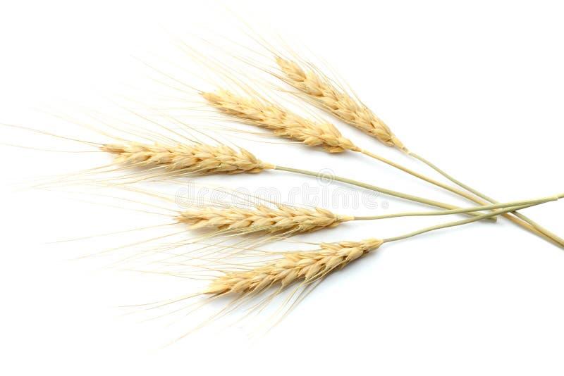 Ährchen des Weizens lokalisiert auf weißem Hintergrund Beschneidungspfad eingeschlossen lizenzfreie stockfotografie