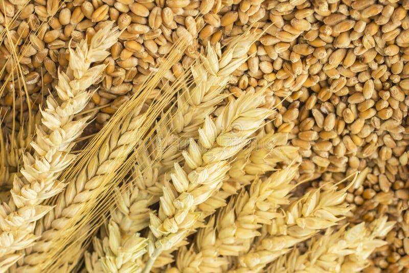 Ährchen des Weizens und der Weizenkörner Abschluss oben Beschneidungspfad eingeschlossen stockfotografie