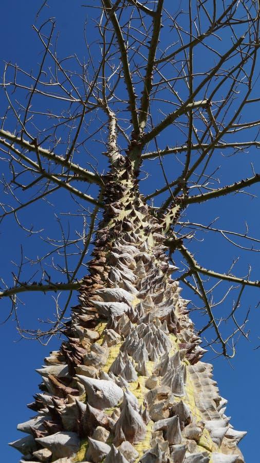 Ährentragender Baum in Ägypten lizenzfreie stockfotografie