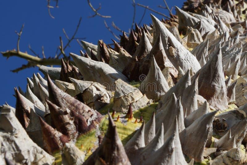 Ährentragender Baum in Ägypten stockfotografie