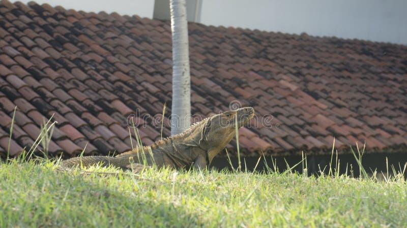 Ährentragender Endstück-Leguan, der den Sun nimmt stockfotos