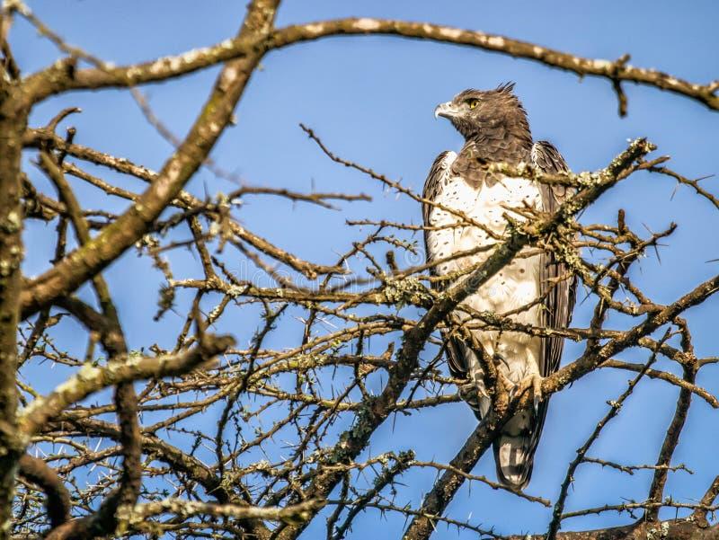 Äktenskaplig örn som ser sitta åt sidan på överkanten av det afrikanska trädet, royaltyfri fotografi