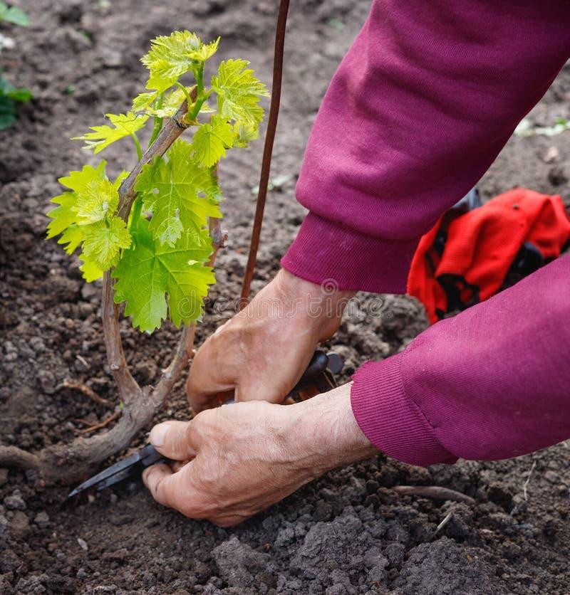 Äldre avgick mannen som att bry sig för ung vinranka av druvor, utomhus i hans trädgård royaltyfria foton