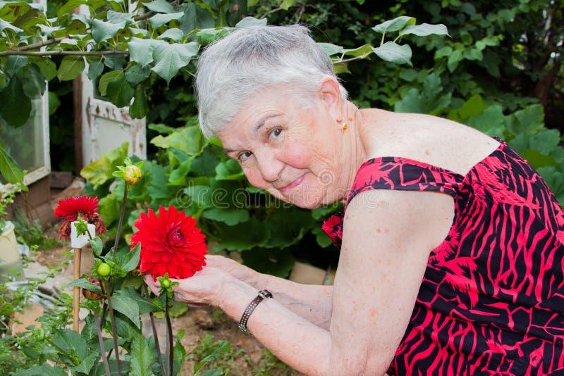 Äldre kvinna och röda dahlior royaltyfria bilder