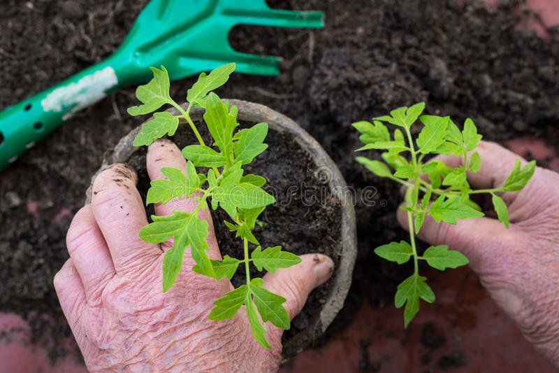 Äldre kvinna som planterar den nya tomatplantan, handdetalj arkivbilder
