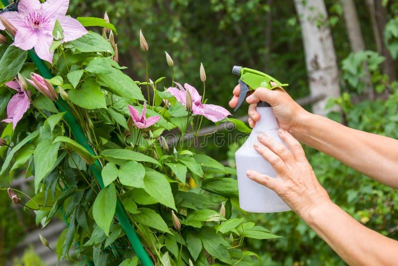 Äldre kvinnliga händer som tar omsorg av växter som besprutar en växt med rent vatten från en flaska royaltyfria bilder