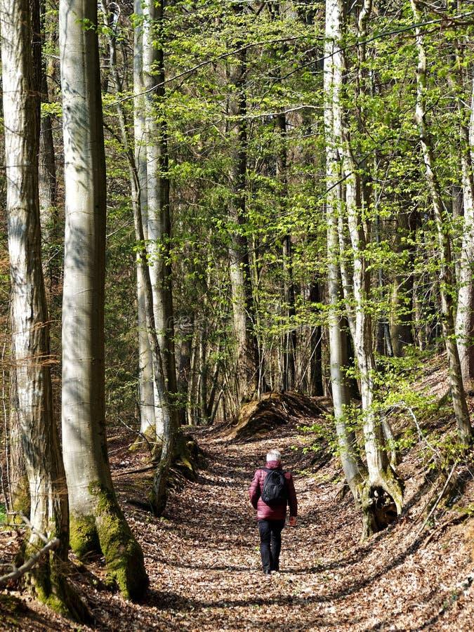 Äldre man som går mellan högväxta träd i en skog royaltyfri foto