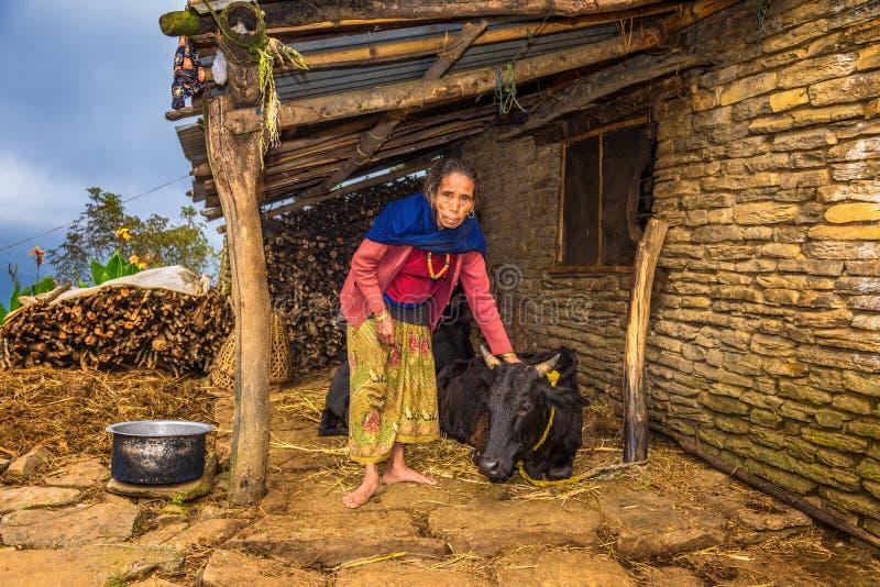 Äldre nepalese kvinna som tar omsorg av hennes ko i Nepal royaltyfri fotografi
