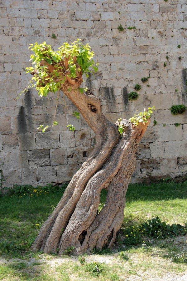 Äldst träd på ön av Rhodes arkivbild