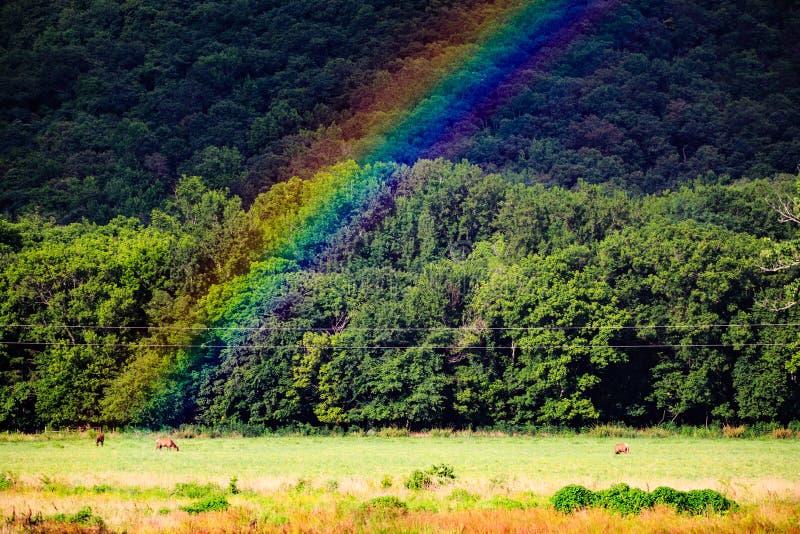 Älg Cervuscanadensis, skrubbsår under en regnbåge i Boxleyen River Valley längs buffelfloden royaltyfri bild