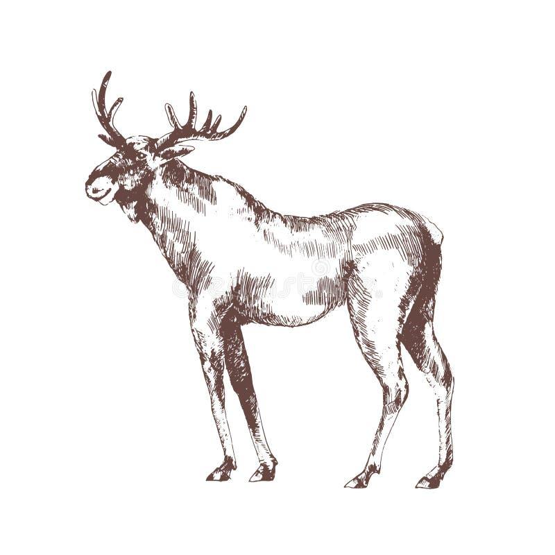 Älg- eller älghand som dras med konturlinjer på vit bakgrund Monokrom skissar den växtätande teckningen av den lösa skogen stock illustrationer
