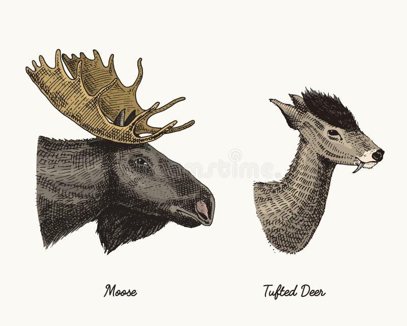 Älg- eller eurasianälg, tufted dragen illustration för hjortvektor hand, inristad vilda djur med horn på kronhjort eller horntapp stock illustrationer