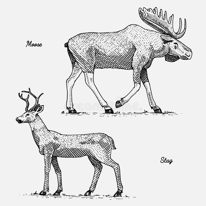 Älg- eller eurasianälgen och fullvuxna hankronhjorten eller hjortar, den drog handen, inristade vilda djur i tappning eller retro royaltyfri illustrationer