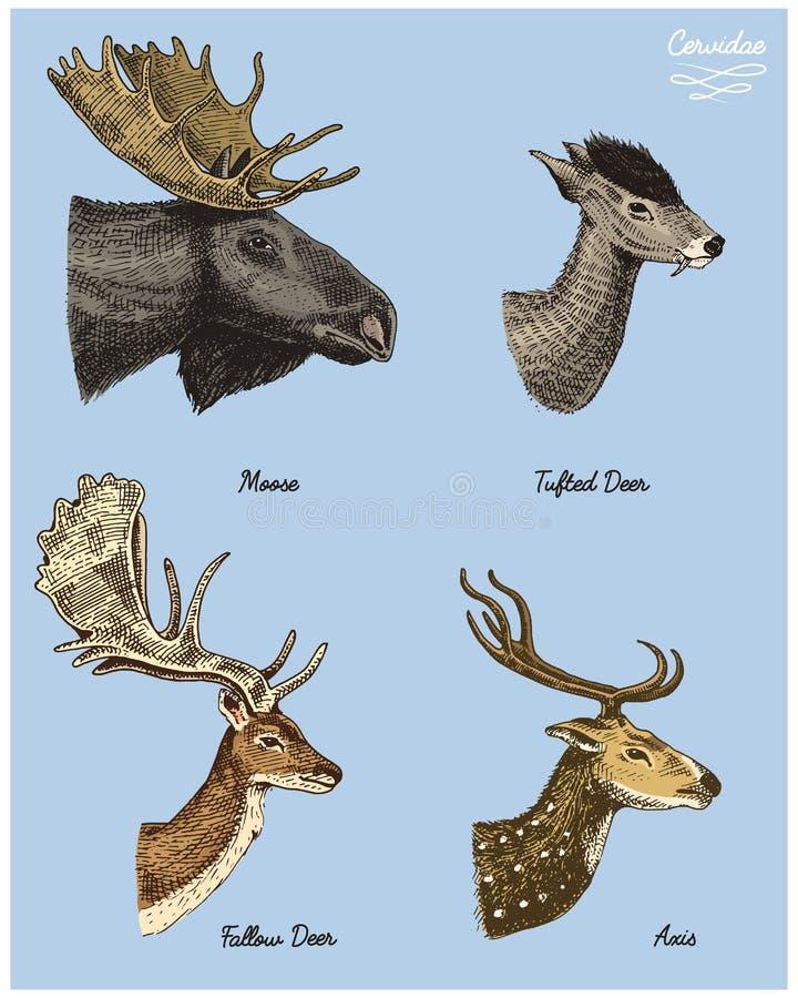 Älg- eller eurasianälgen, tufted hjortar, fiskromen eller doen, dragen illustration för axelvektor handen, inristade vilda djur m vektor illustrationer