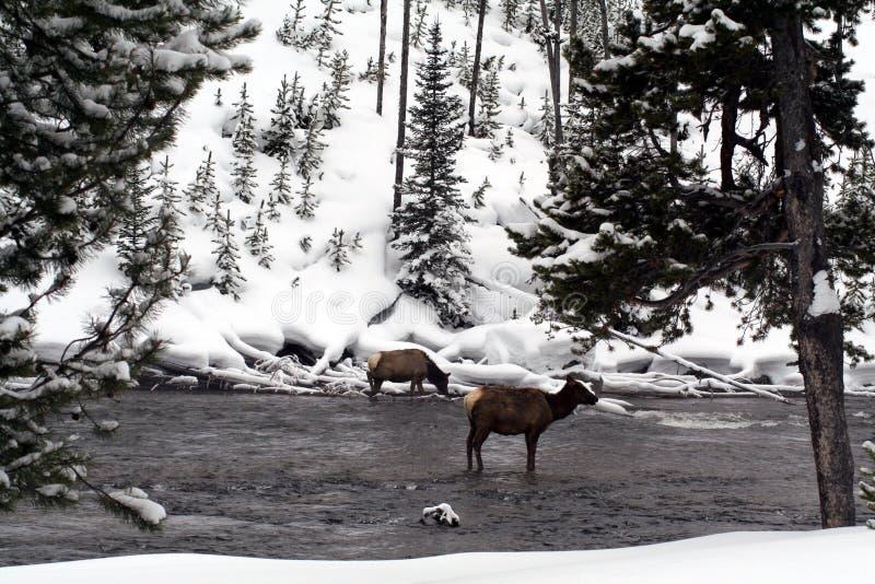 Älg för två ko i en vinterunderland arkivfoto